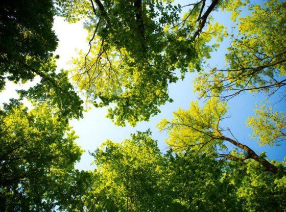OMV Petrom plantează 70.000 de copaci